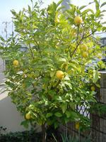 lemon12-23.JPG