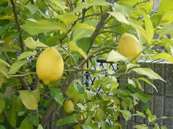lemon21-1.JPG