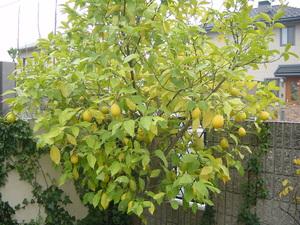 lemon21-12.JPG