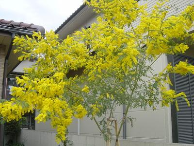 mimoza22-4-10.JPG