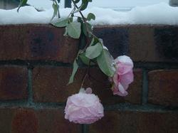 rose1-21.JPG