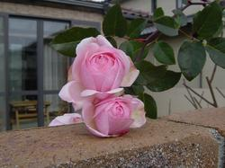 rose20-1.JPG